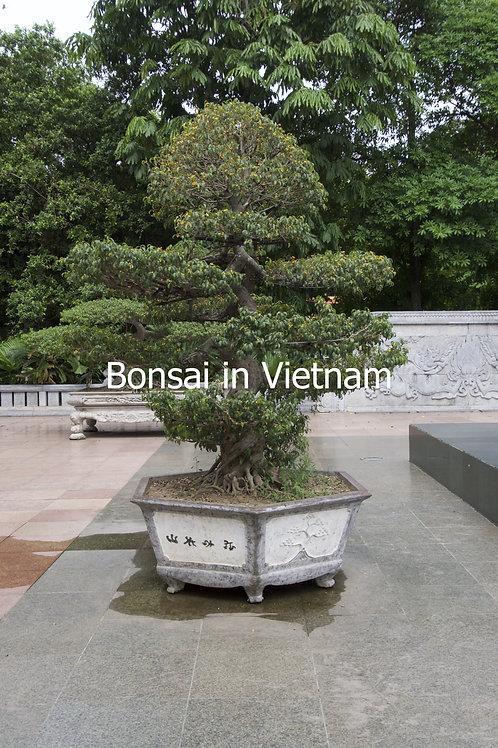 Bonsai in Vietnam