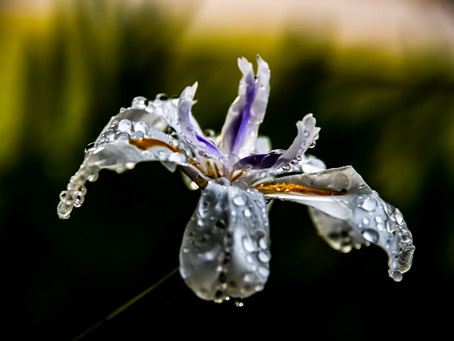 Water drops on the African Iris.