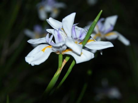 African Irises