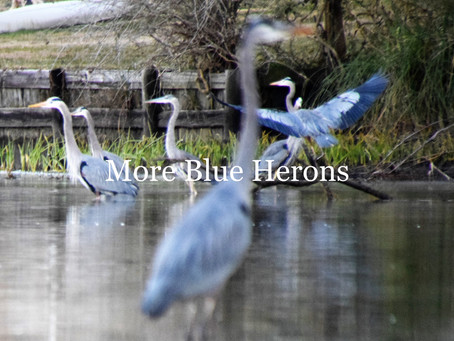 How Blue can your Heron be?