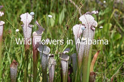 Wild Flowers in Alabama