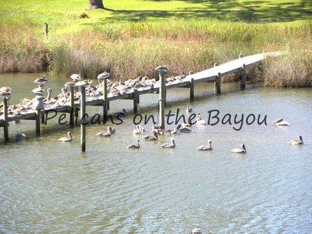 Pelicans on the Bayou.