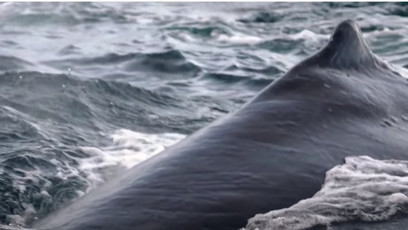 He was swallowed by a Humpback Whale!