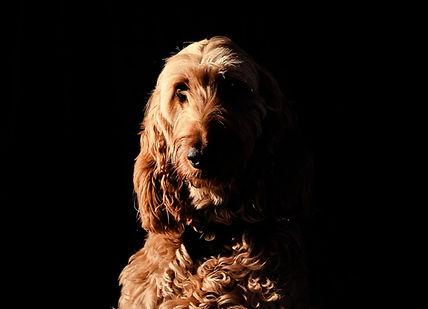 Poodle Dog-min.jpg