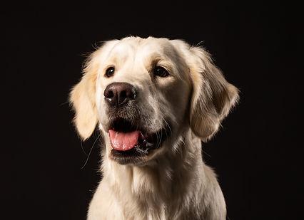 Labrador Dog-min.jpeg