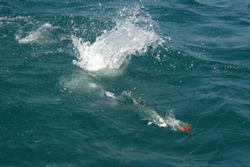 Queenfish & Popper 610.jpg
