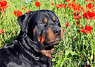 rottie with flowers.jpg