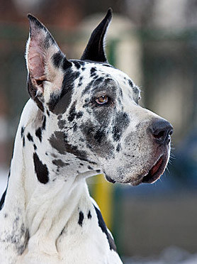 great dane.jpg