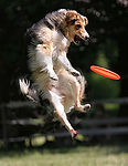 dog-jumps-for-frisbee-disc-thumb5582358.