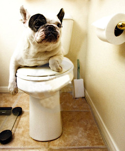 a french-bulldog-on-the-throne-thumb6979