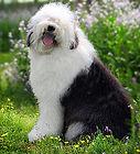 english-old-sheep-dog-thumb5089227.jpg
