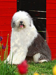 english-old-sheepdog-thumb5296268.jpg