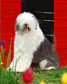 english-old-sheepdog-thumb5296268.jpg
