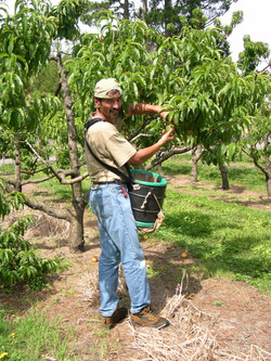 Hasting - fruit picking