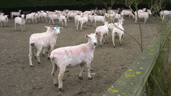 moutons après la tonte !