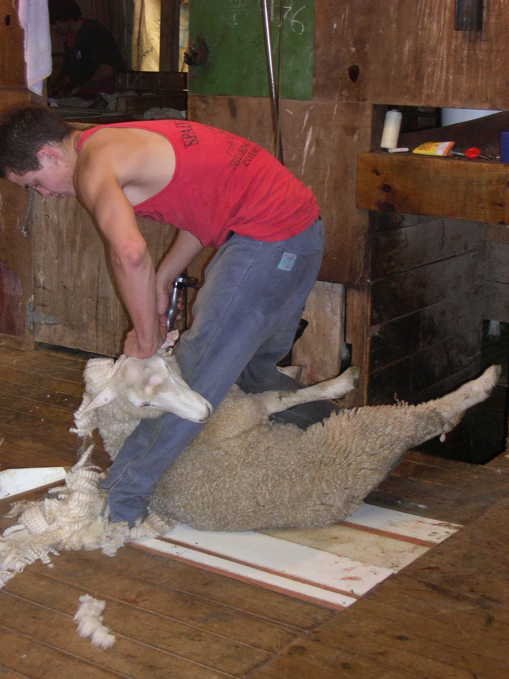 tonte moutons