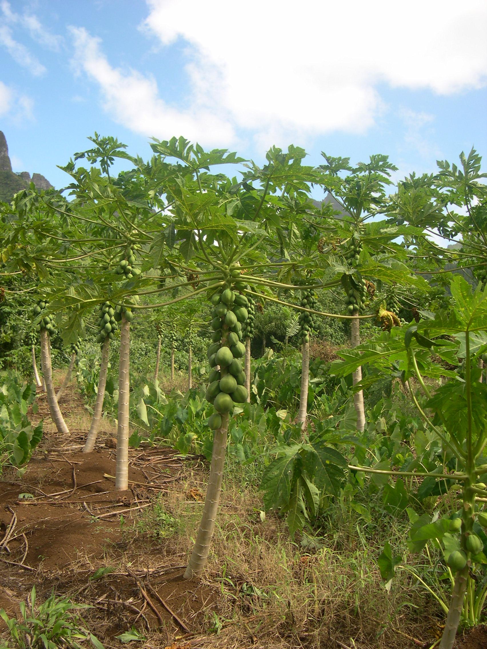 Moorea - ananas