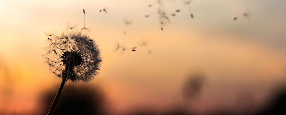 Silhouette of dandelion with petals blowing in the wind and orange yellow sunset in the background