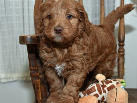 Your Labradoodle Puppy's fourth and fifth week of development