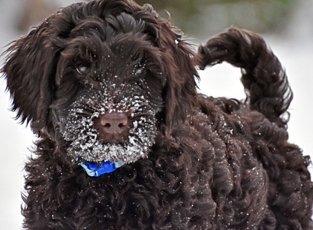 Winter Grooming Tips For Labradoodles