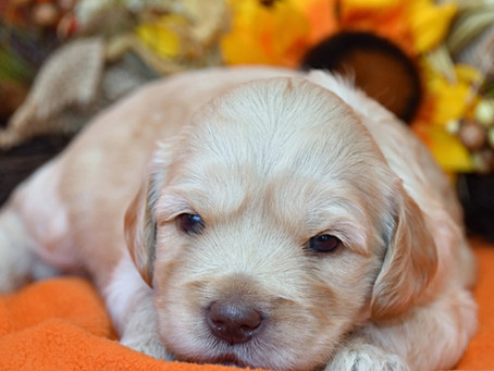 Bringing Home Your Labradoodle Puppy
