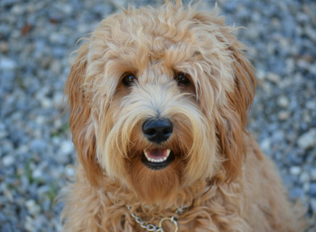 Fun In the Snow: Cold-weather Outings with Your Labradoodle