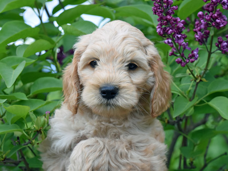 Tips For Getting Your Labradoodle Ready for Spring