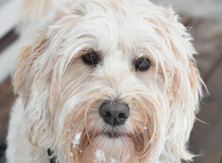 Socializing Your Labradoodle Puppy