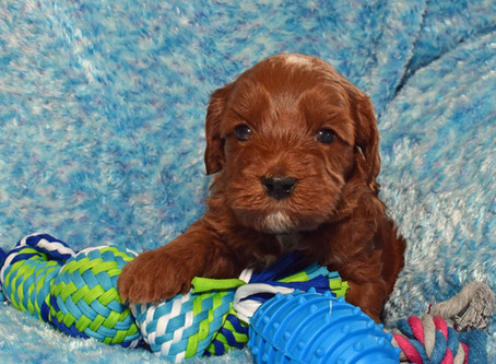 How To Prevent Your Labradoodle Puppy's Destructive Chewing Behavior