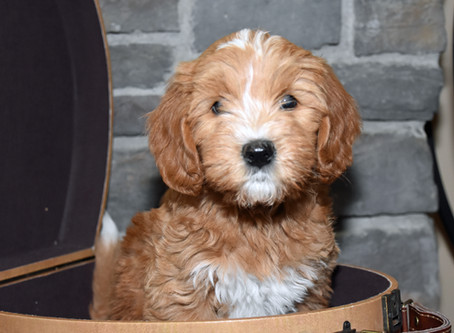 Essential Supplies for Your New Labradoodle Puppy