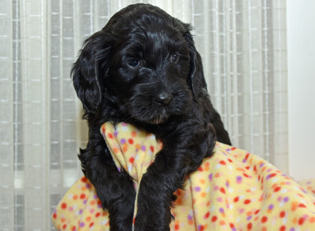 Your Labradoodle Puppy's First Week of Development