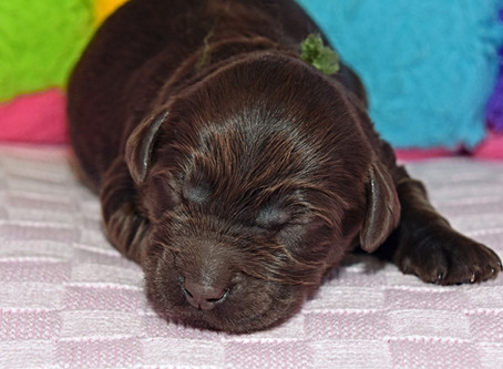 What Are The Benefits of Neurological Stimulation in Puppies