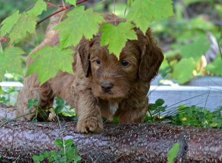 First Aid Tips for Labradoodle Owners