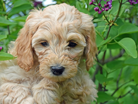 How To Treat Your Labradoodle Puppy's Motion Sickness Symptoms
