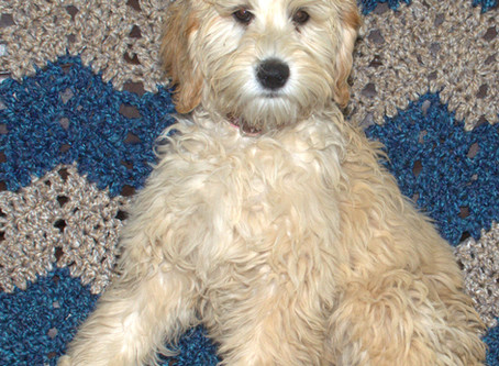 Protecting Your Labradoodle from Dangerous cold-weather Chemicals