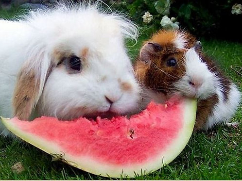 Daily Visit: Rabbit/Guinea Pig