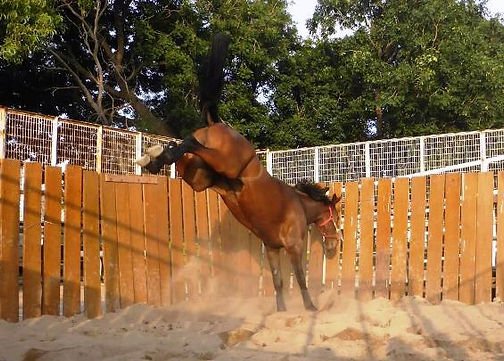 racehorse playing