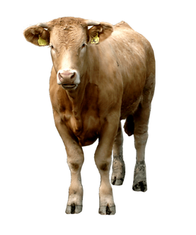 animal-cow-free-PNG-transparent-backgrou