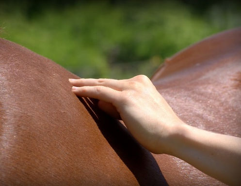 horse massage training courses, equine massage.