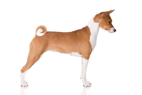 red and white basenji dog standing on wh