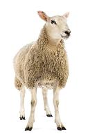 sheep aiat.png