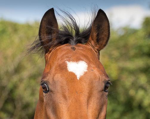 horse with a heart shaped blaze
