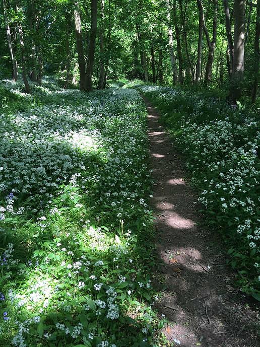 Wild garlic in Wernog Wood