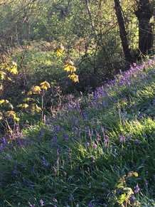 Bluebell wood in Wernog Wood