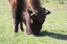 Die Bisons in der Küstenheide