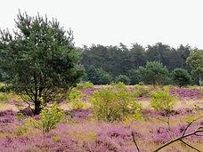 Blühende Heide in der Küstenheide