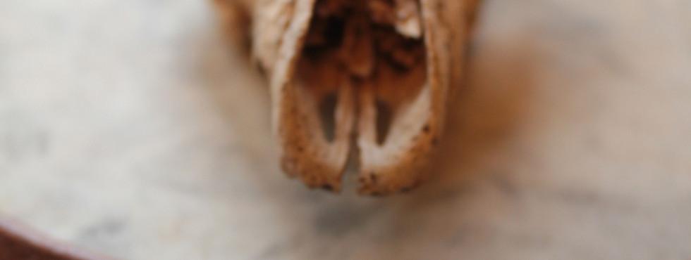 Fox tooth portrait.jpg