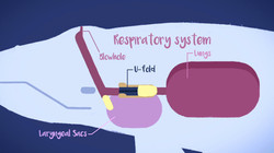 Whales respiratory system