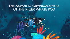 The amazing Grandmothers of the killer whale pod