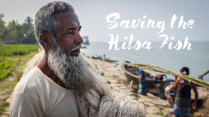 Saving the Hilsa Fish - the story of Bangladesh